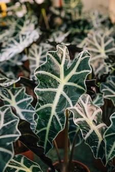 Dettaglio di foglie verdi con venature bianche