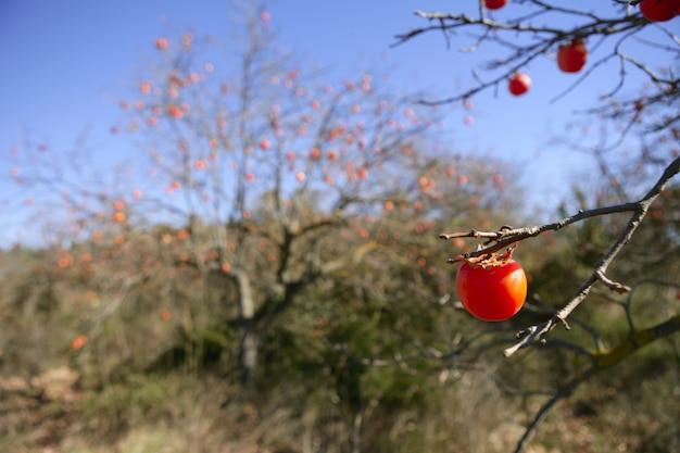Dettaglio di frutta di cachi in arancione vivo