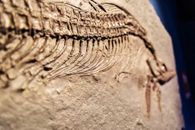 Dettaglio di un ichthyosaurus fossile.