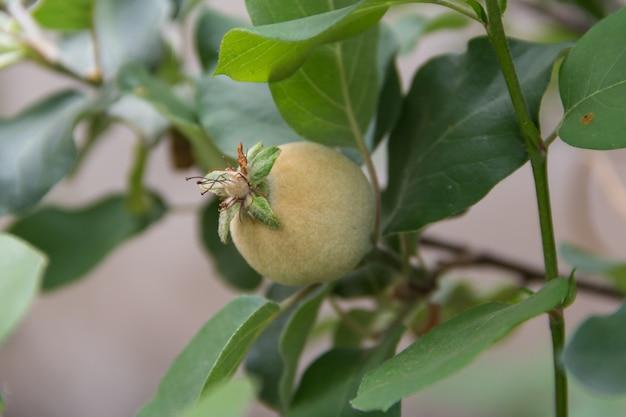 Dettaglio di una mela cotogna commestibile ornamentale nel giardino