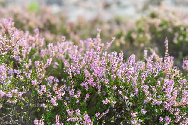 Dettaglio di una pianta di fioritura viola dell'erica nel paesaggio scandinavo.