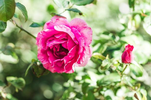 Dettaglio di una rosa rosa