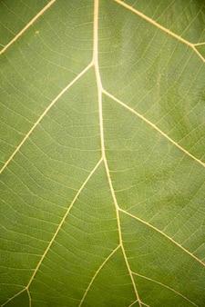 Dettaglio e struttura della foglia verde fresca della banana