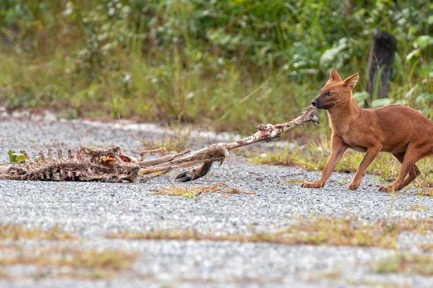 Dhole o cani selvaggi asiatici che mangiano una carcassa di cervo al parco nazionale di khao yai, tailandia