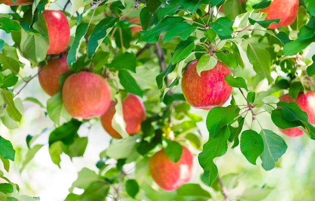Di melo rosso fresco organico di autunno nel frutteto del giardino dell'azienda agricola