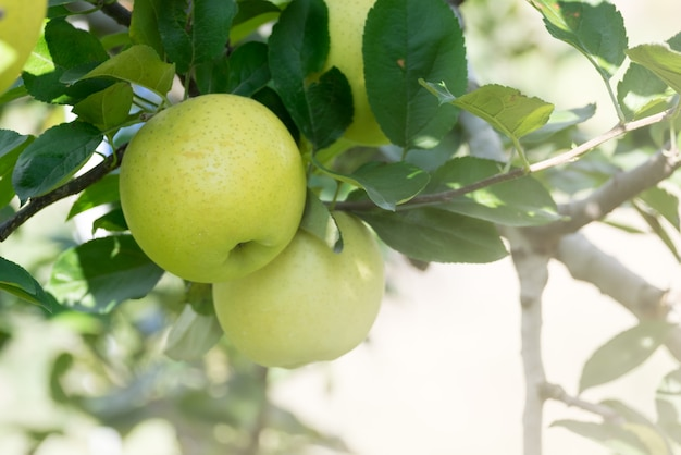 Di melo verde fresco organico di autunno nel frutteto del giardino dell'azienda agricola