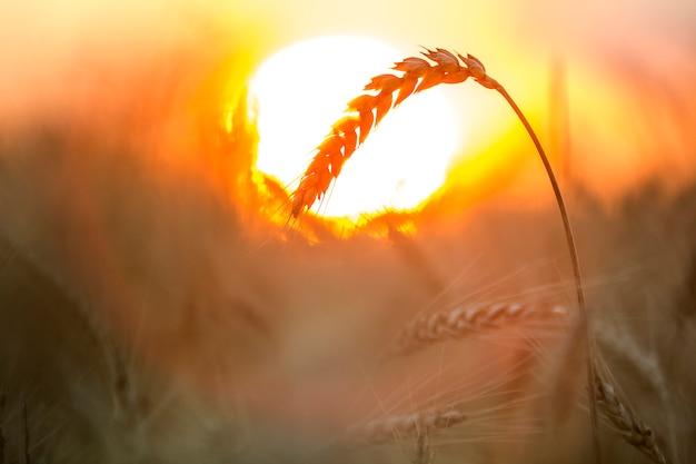 Di teste di grano focalizzate mature di colore giallo dorato caldo