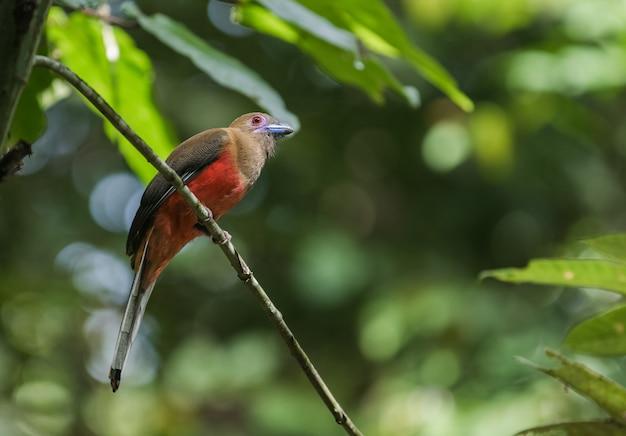 Diard's trogon femmina seduta su un piccolo ramo nella foresta rara a sepilok, borneo, sabah, malesia