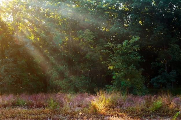 Dio travi - foresta di conifere nelle prime ore del mattino