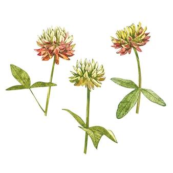 Disegno botanico dell'acquerello del trifoglio di rosa del prato. illustrazione di trifoglio isolata