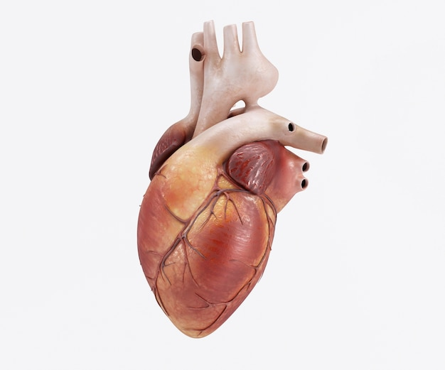 Disegno del cuore umano