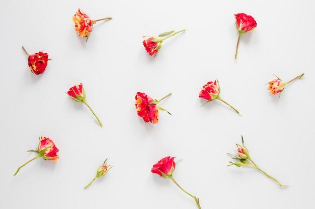 Disposizione dei fiori rossi del garofano su fondo bianco