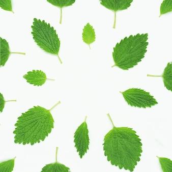 Disposizione della menta balsamo verde su sfondo bianco