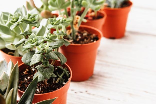 Disposizione delle piante grasse o piante grasse del cactus