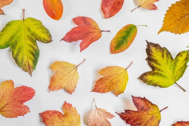 Disposizione piana con le foglie di autunno sulla fine bianca del fondo su.