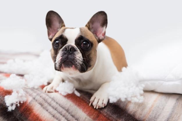 Distruttore domestico domestico si trova sul letto con un cuscino strappato. foto astratta di cura dell'animale domestico. piccolo cane colpevole con la faccia buffa.