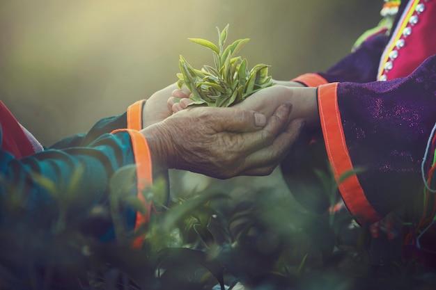 Dito della mano delle donne che prende le foglie di tè ad una piantagione di tè per il prodotto