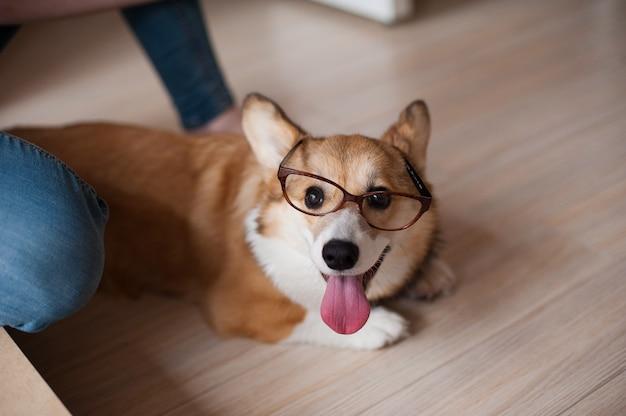 Divertente cucciolo di welsh corgi pembroke con occhiali a casa, cane sorridente felice