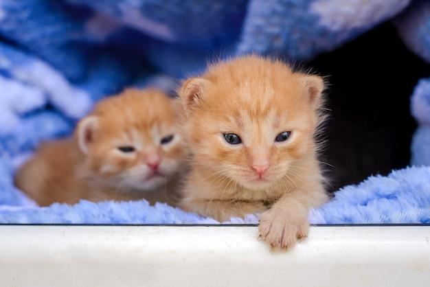 Divertenti gattini rossi