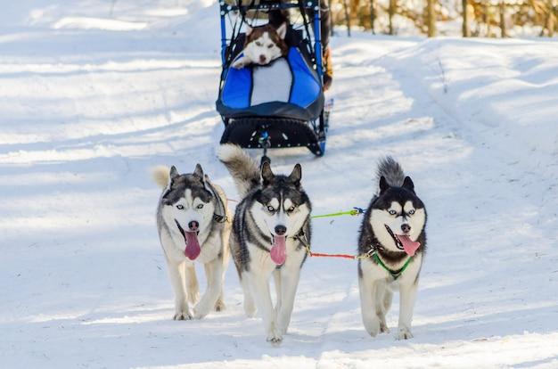 Divertenti tre cani husky siberiano in imbracatura. gara di slitte trainate da cani
