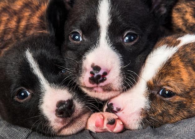 Divertenti tre cuccioli di cane basenji naso a naso