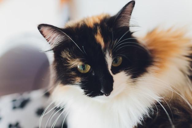 Dolce gatto dorato sdraiato sul divano e guardando lontano.