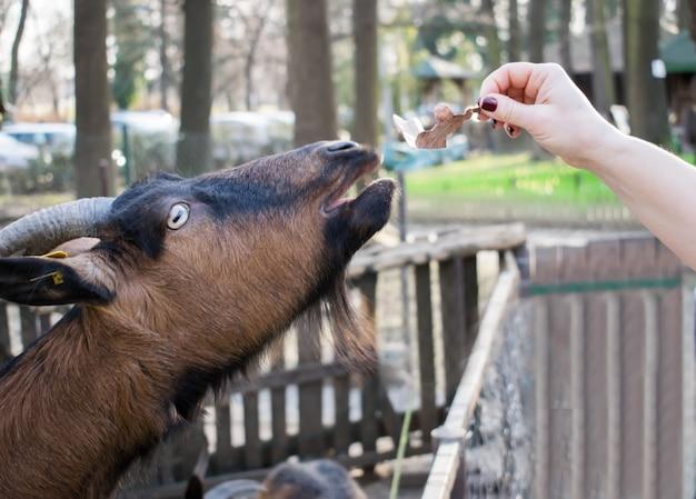 Donna, alimentazione, capre, fattoria