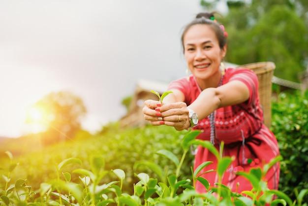 Donna asiatica della tribù della collina in vestiti tradizionali che raccolgono le foglie di tè