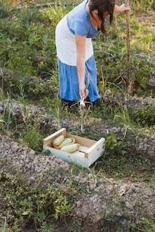 Donna che raccoglie cipolline dal terreno