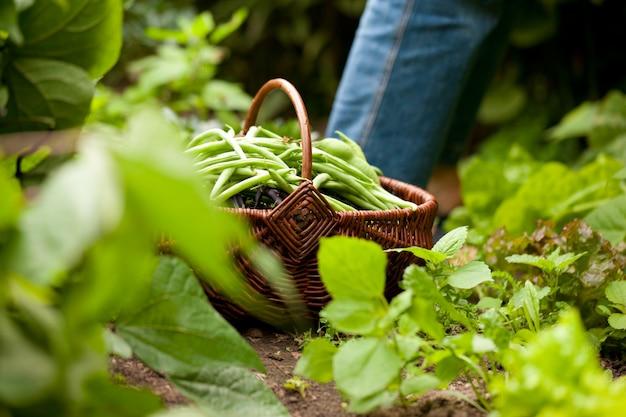 Donna che raccoglie i fagiolini verdi nel suo giardino
