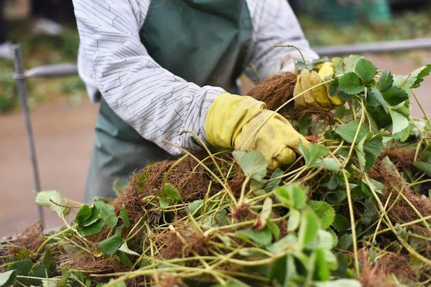 Donna che seleziona le piante delle fragole nell'azienda agricola. concetto di industria agricola