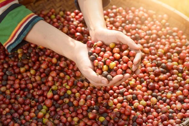Donna coltivatore di caffè non identificato sta raccogliendo bacche di caffè nella fattoria del caffè, bacche di caffè arabica con mani di agricoltore, stile vintage, thailandia