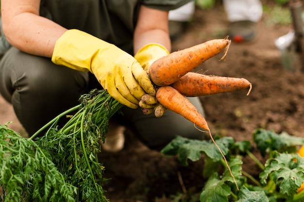 Donna del primo piano che raccoglie le carote