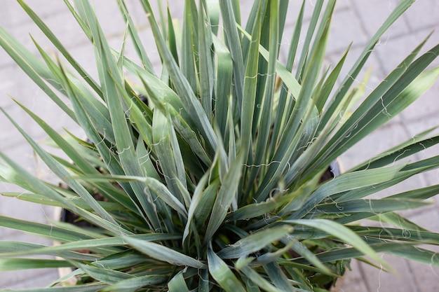 Dracaena marginata foglia verde in vaso. foglie verdastre della pianta. vista dall'alto di foglie verdi di pianta d'appartamento in vaso.