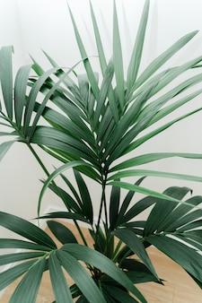 Dracaena palm su sfondo bianco con nuova foglia. concetto di giardinaggio domestico. lussureggiante