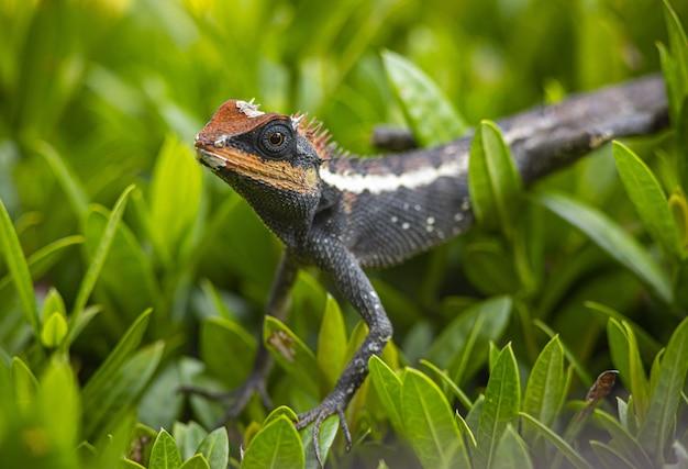 Drago barbuto marrone e nero su erba verde
