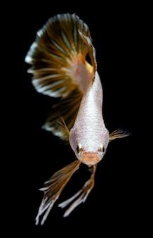 Drago d'argento betta pesce combattente siamese.