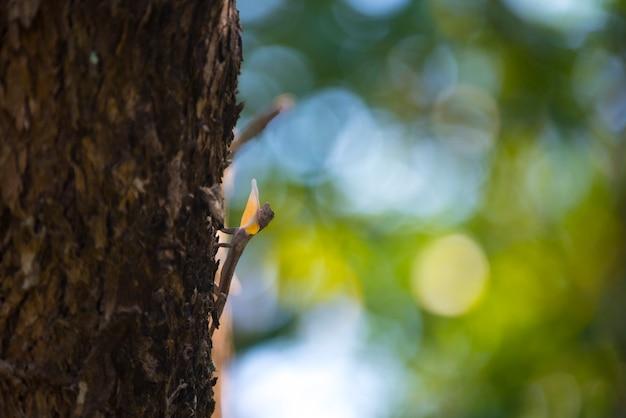 Drago volante, lucertola volante sull'albero al parco nazionale di khao yai, tailandia