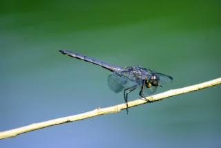 Dragon fly, astratto