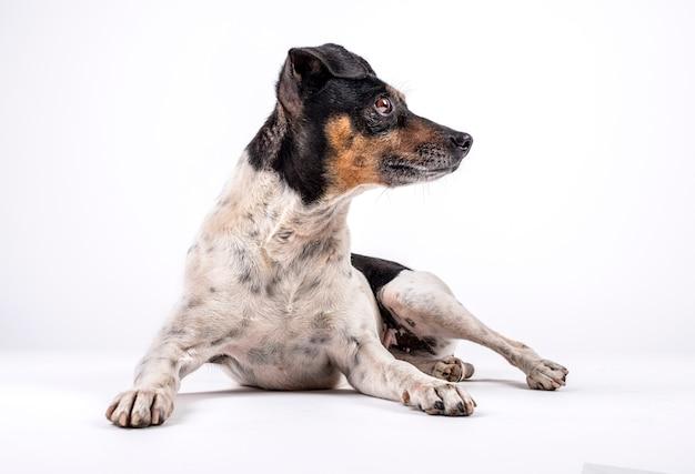 Droghiere del cane che si siede e che guarda lateralmente su fondo bianco