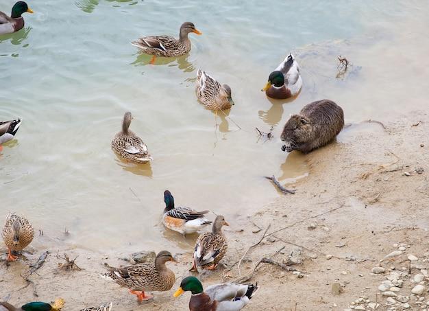 Duchi e lontre vicino al fiume