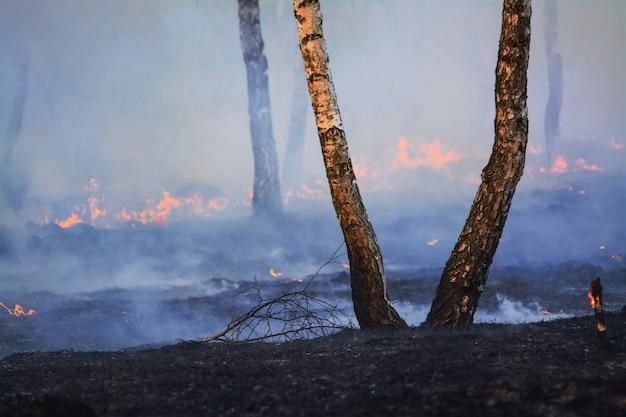 Due alberi di betulla soli in foresta dopo l'incendio forestale
