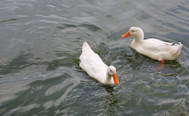 Due anatre bianche che nuotano nello stagno