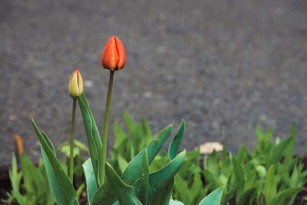 Due bei tulipani non aperti delicati, coperti di primo piano delle gocce di pioggia sul fondo dell'asfalto