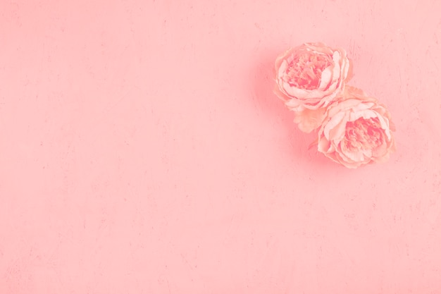 Due belle peonie fioriscono sul contesto strutturato rosa