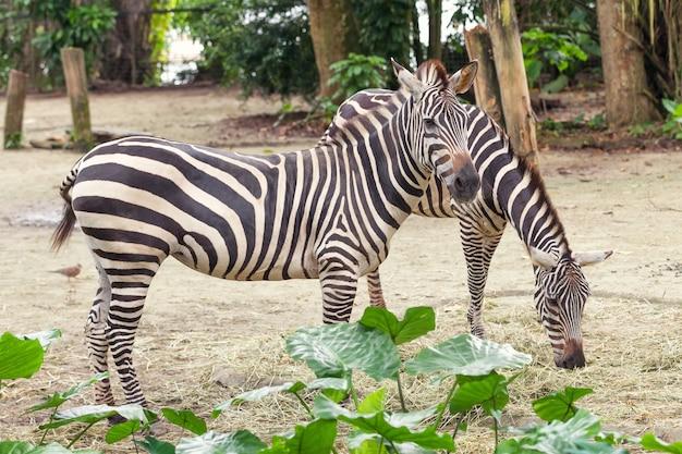 Due belle zebre a strisce africane nel pascolo, fauna selvatica.