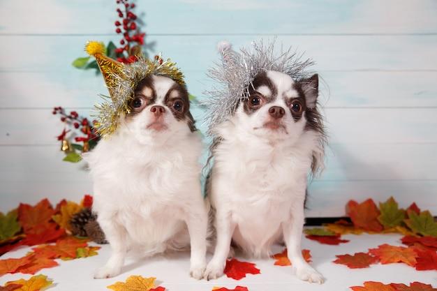 Due cani adorabili della chihuahua che portano un cappello conico di nuovo anno su festivo.