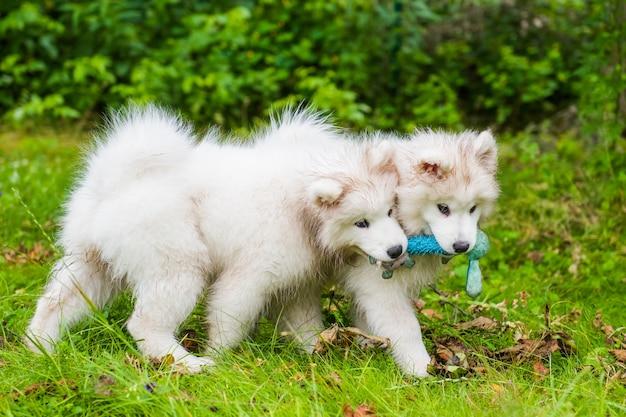 Due cani bianchi lanuginosi divertenti dei cuccioli di samoiedo stanno giocando con il giocattolo sull'erba verde