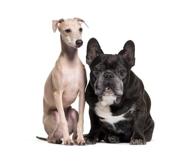 Due cani; bulldog francese e cane levriero italiano, isolato
