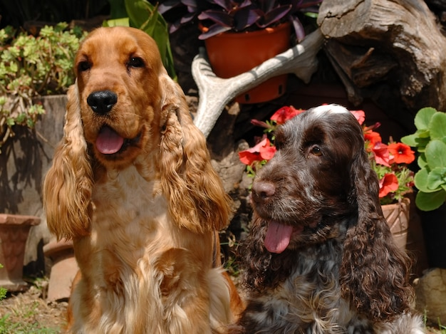 Due cani cocker spaniel inglese